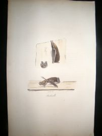 Saint Hilaire & Cuvier C1830 Folio Hand Colored Print. Bats